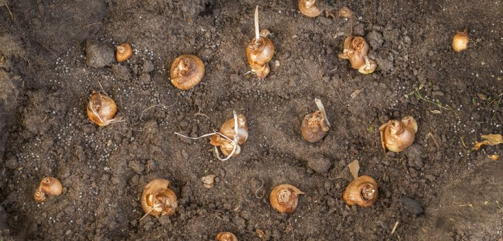 The Essentials of Fall Bulb Planting