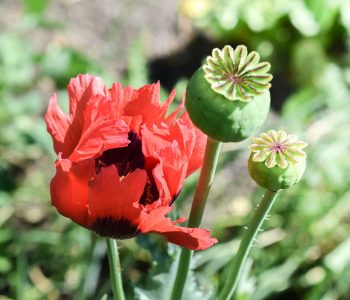 lest we forget poppy planting this fall